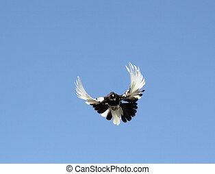 duif, in de lucht, voorkant, van, de, blauwe hemel