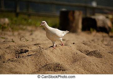 duif, op het strand