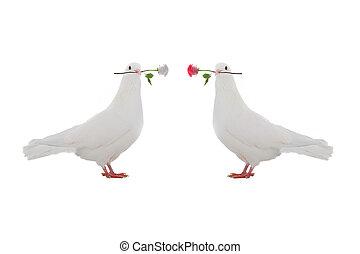 duif, twee