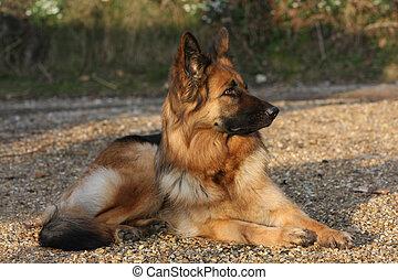 duitse herdershond, dog
