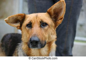 duitse herdershond, dog, verdrietige