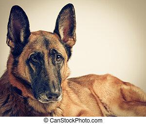 duitse herdershond, dog, vrouwlijk
