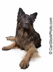 duitse herdershond, oude hond