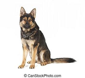 duitse herdershond, oude hond, zittende