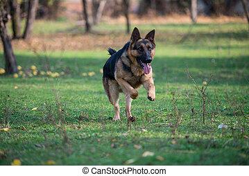 duitse herdershond, rennende , dog