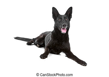 duitse herdershond, zwarte hond