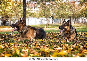 duitser, verticaal, dog, herdershond