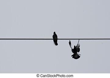 duiven, twee