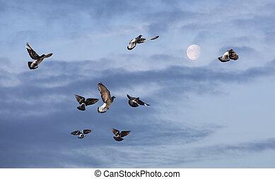 duiven, vliegen, om te, de, zon