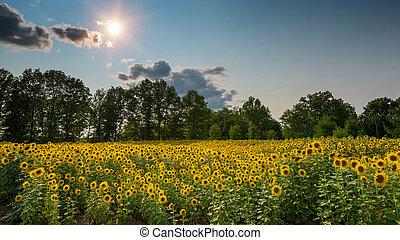 Duke Farms Sunflower Field - Beautiful field of Sunflowers...
