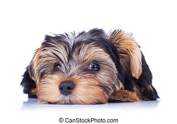dulce, perrito, colocar, yorkshire