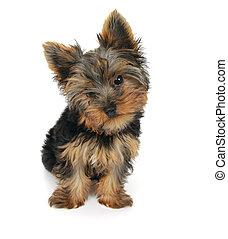 dulce, yorkshire, plano de fondo, frente, blanco, perrito, ...