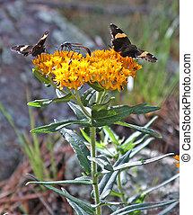 Dull Firetips Butterfly Milkweed 1