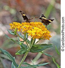 Dull Firetips Butterfly Milkweed 2