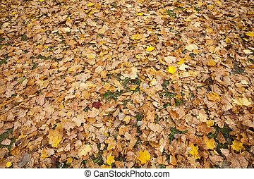 dull maple leaves falling to the ground