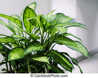Dumb cane plant in the office building