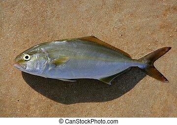 dumerili, fish, seriola, più grande, amberjack