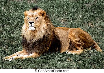 dumny, lew, cyganiąc na trawie