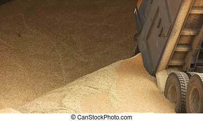 Dumping grain from the truck. Pouring wheat, grain pile,...