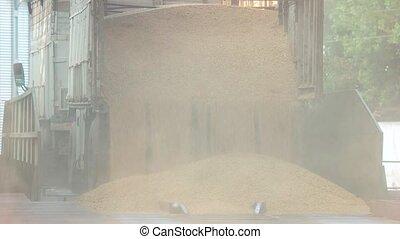 Dumping grain from truck trailer. Falling down grain corns...