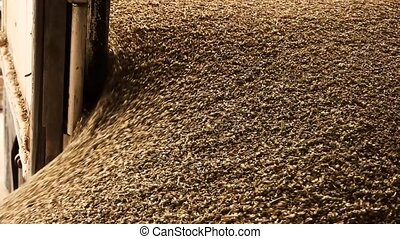 Dumping of wheat grains. Pouring out grain cereals.