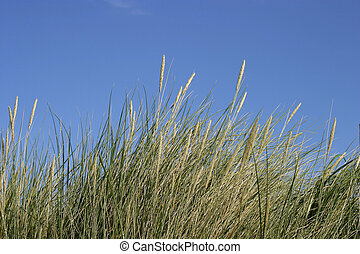 Dune grass - Green and yellow dune grass against a blue ...