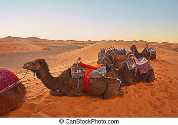 dune, roulotte, sabbia, andare, attraverso, deserto sahara