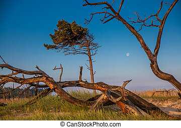 dune with crooked tree