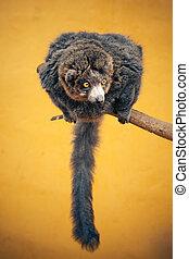dunede, lemur, branch