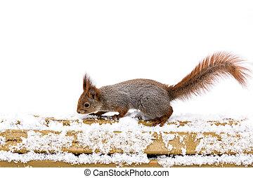5957d3ccf04 dunede, rød egern, beliggende, på, af træ, snedækkede, bænk,