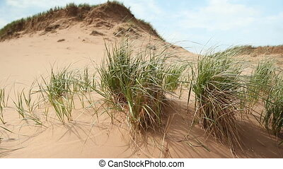 Dunes. - Closeup of grass in sand dunes. Shallow depth of...