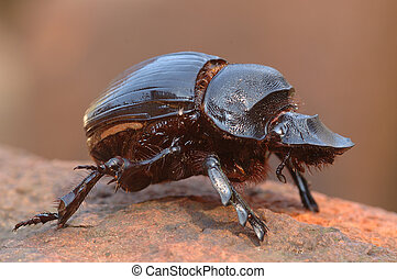 Dung beetle - Goliath dung beetle
