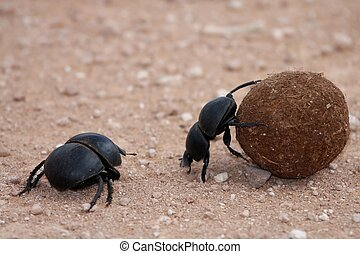 Dung Beetles - Dung beetles rolling their ball of dung to...