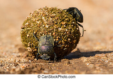 Dung beetles rolling their ball with eggs inside to bury