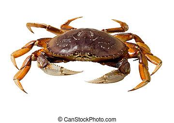 Dungeness Crab (Metacarcinus magister) - Live dungeness crab...