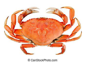 dungeness, hel, isolerat, krabba