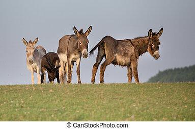 Dunkeys on meadow