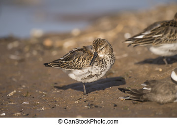 Dunlin, Calidris alpina, resting on the sand