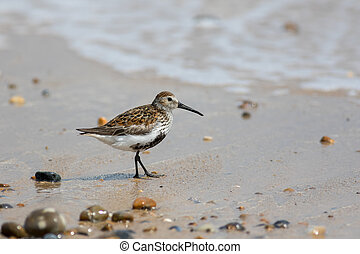 Dunlin. Sandpiper wader on wet sand at the beach. Coastal wildlife.