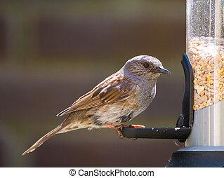 dunnock, adulto, birdfeeder, retrato