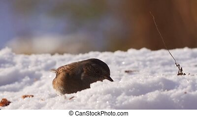 Dunnock in winter