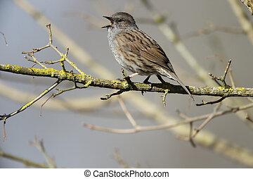 Dunnock or hedge sparrow, Prunella modularis