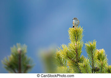 Dunnock sitting on a pine branch in mountains with hillside in background