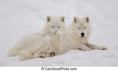 Duo of arctic wolf relaxing in the snow