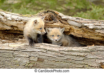 duo, vos, pups, -, vulpes, rood