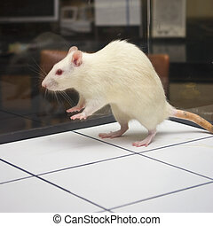durante, rato, pular, experiência, tábua