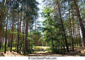 durch, baumwald, kiefer, pfad