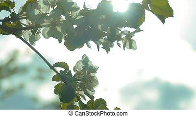 durch, der, zweige, von, apfelblüte, strahlen, zeitlupe,...