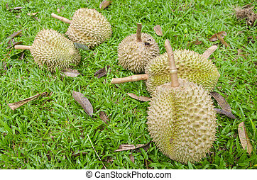 Durian, delicious famous fruit in Thailand, Close up