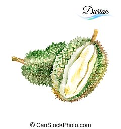 Durian - Watercolor fruit durian isolated on white...